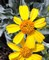 01252015_-_Brittlebush_at_White_Tank_by_Ranger_Jessica