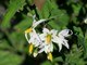 03182015_-_American_Black_Nightshade_at_Spur_by_Ranger_Kevin