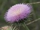 03182015_-_New_Mexico_Thistle_at_Spur_by_Ranger_Kevin