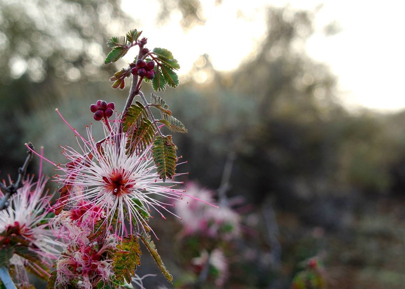 02272015_-_Fairy_Duster_at_Cave_Creek_by_Ranger_Mark