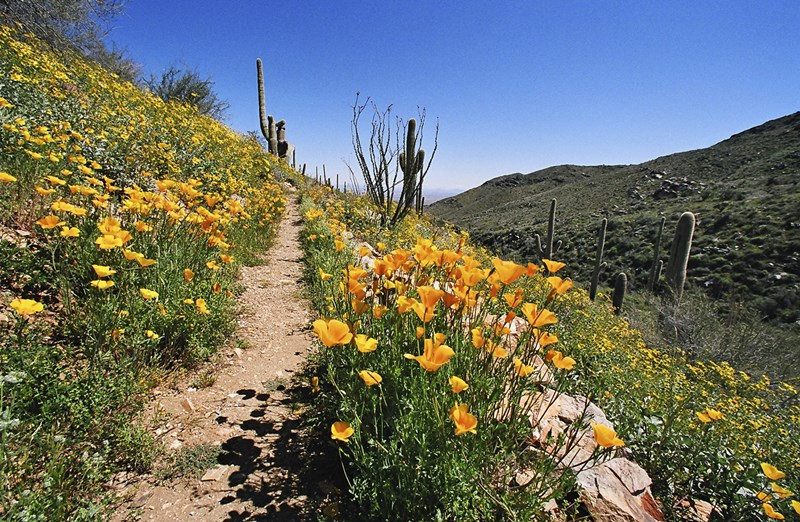 Cave_Creek_Regional_Park_-_Wildflowers_in_bloom_along_the_Go_John_Trail
