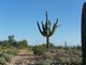 WT-Saguaro_along_east_boundary_south_of_compound_20__arms