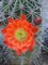 claret_cup_cactus_orange_bloom_JBland