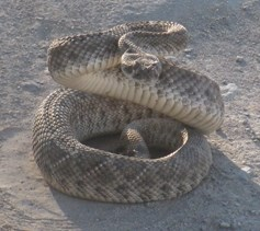 Western_Diamondback_Rattlesnake_at_Spur_Cross_Ranch