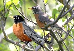 robin_american_how_to_tell_male_from_female_versus_vs_paler_black_orange_bird_compared[1]