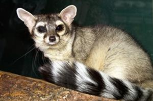 ringtail2[1]