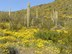 yellow-brittlebush-and-saguaro[1]