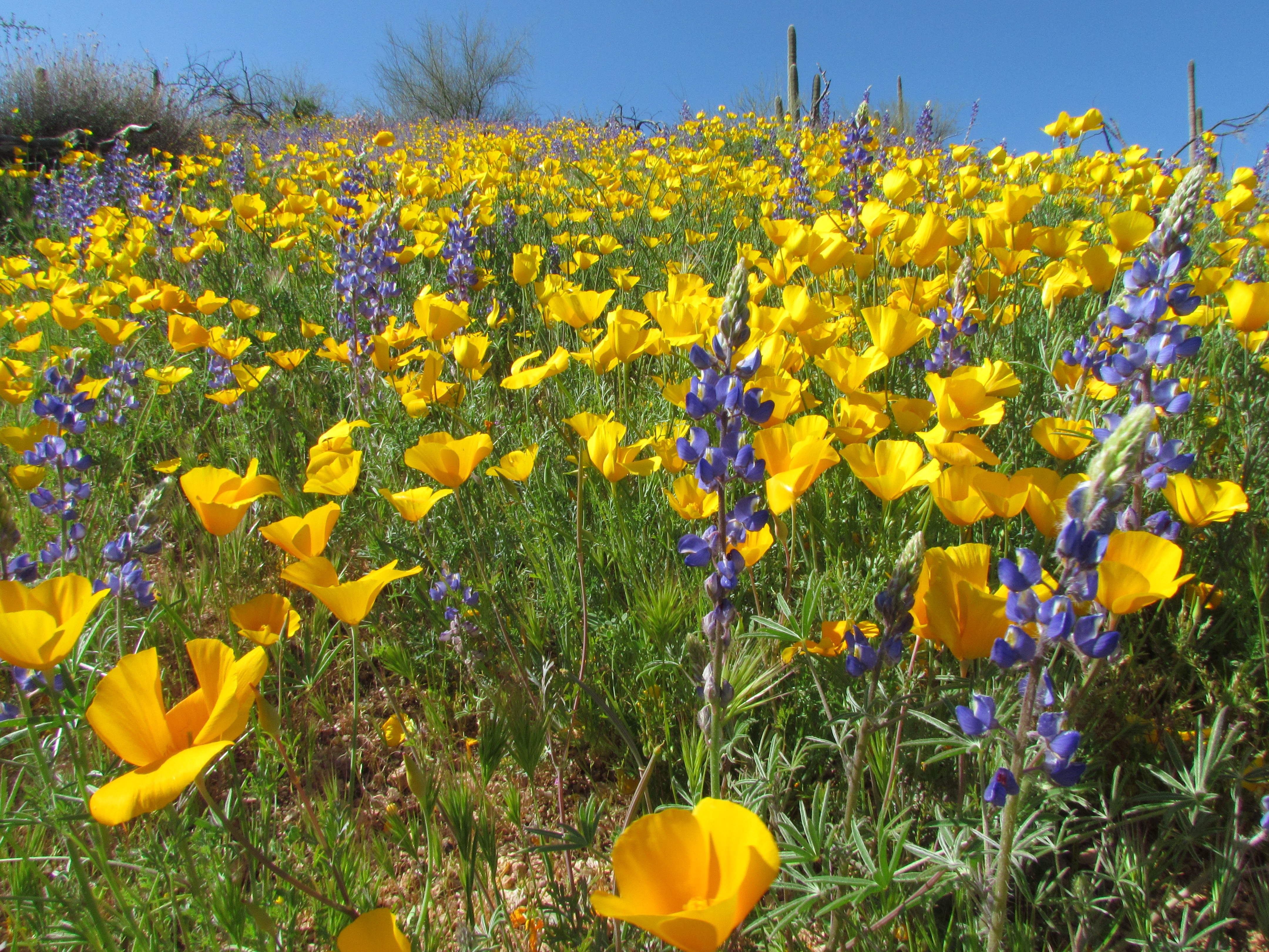 Go Wild For Flowers Maricopa County Parks Recreation